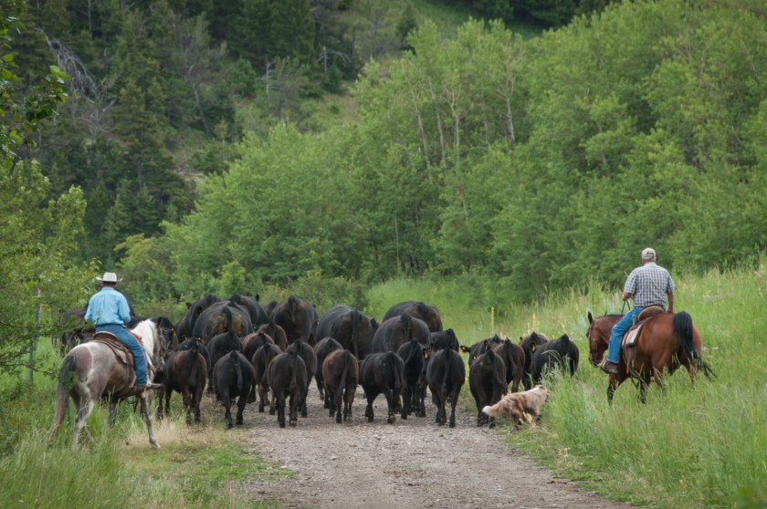 Cowboys, cow dog, and their herd slow our progress into the mountains