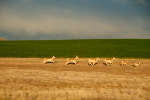 Pronghorn sheep, or antelope, on the Montana prairie