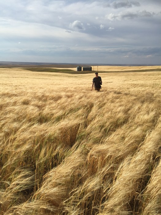 Walking in Montana wheat