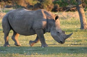 Rhino Ongava
