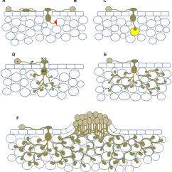 Structure Of Stomata With Diagram Wiring A Car Frontiers Nonhost Resistance To Rust Pathogens