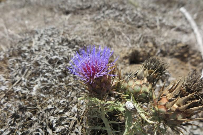 fiore isole canarie