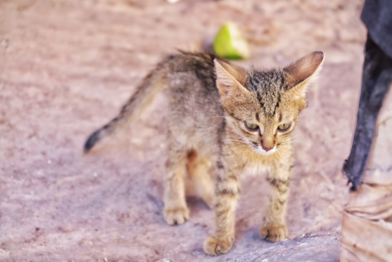 gatti in giordania