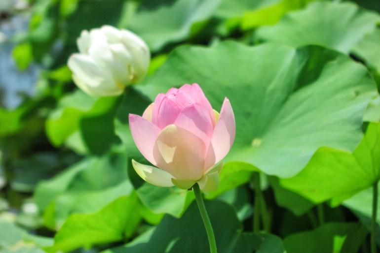 fioritura del loto