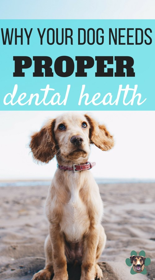 Dental disease can affect up to 80-85% of pets over the age of three years old. That is a very serious and shocking number. When it comes to your dog's dental health, you have to be diligent in keeping their adult dog teeth healthy. I have all you need to know about why your dog needs good dental health.