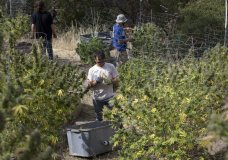 FILE - In this Oct. 12, 2016 file photo, Anthony Viator, center, and other workers harvest marijuana plants on grower Laura Costa's farm near Garberville, Calif. Marijuana is a crop just like beans and broccoli but while it was in the ground all the pot that was harvested this year didn't get the same level of scrutiny as traditional fruits and veggies. So how can the state ensure it's safe from the pesticides, molds and heavy metals other agricultural products are checked for? (AP Photo/Rich Pedroncelli, File)