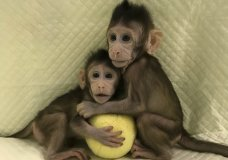 In this undated photo provided by the Chinese Academy of Sciences, cloned monkeys Zhong Zhong and Hua Hua sit together with a fabric toy. For the first time, researchers have used the cloning method that produced Dolly the sheep to create two healthy monkeys, potentially bringing scientists closer to being able to do that with humans. (Sun Qiang and Poo Muming/Chinese Academy of Sciences via AP)