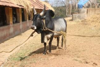 A Kangayam Bull