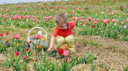 Washington DC Family Fun Events for Kids Spring Tulips Flower Picking at Burnside Farms Virginia family friendly family travel