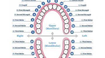 Tooth number chart - teeth numbers