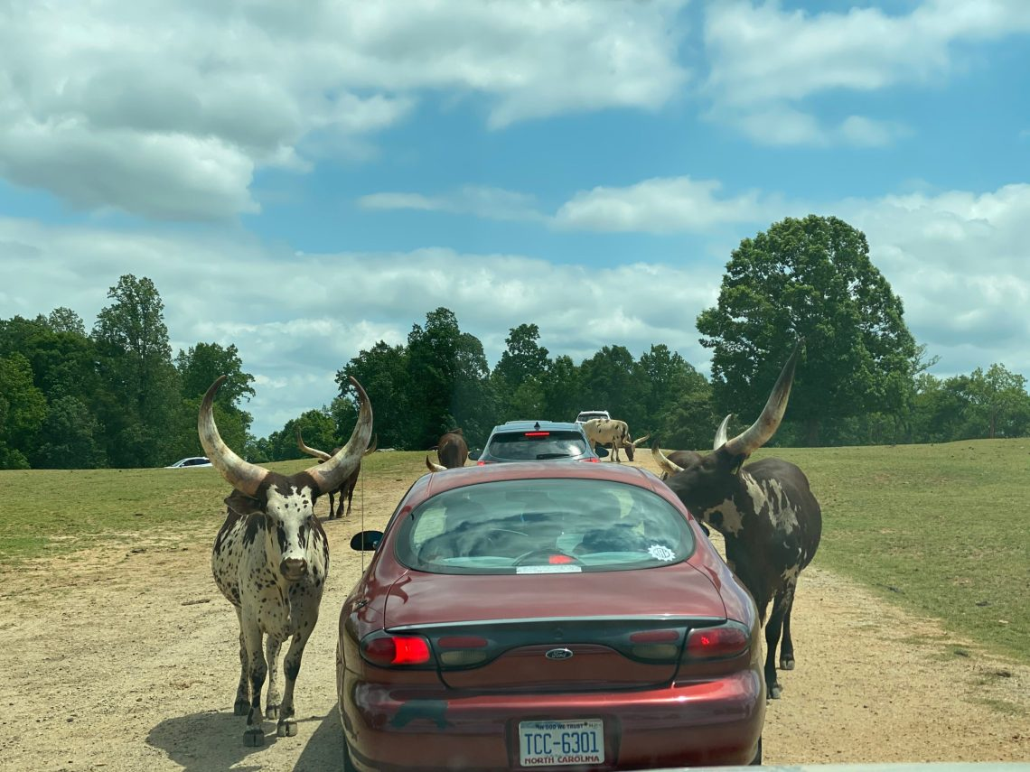Lazy 5 Ranch - Drive Through Zoo in Mooresville NC - Things to Do With Kids- Day Trips and Family Travel in North Carolina petting zoo