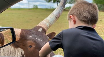 Lazy 5 Ranch - Drive Through Zoo in Mooresville NC - Things to Do With Kids- Day Trips and Family Travel in North Carolina longhorn