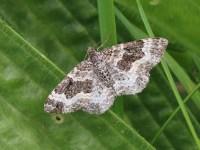 Common Carpet moth 29Aug17   Froyle Wildlife