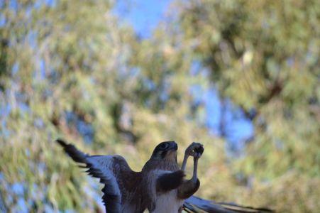 44.brown falcon
