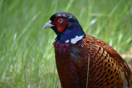 47.pheasant