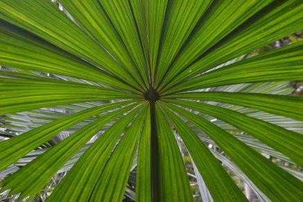 60.fan palm