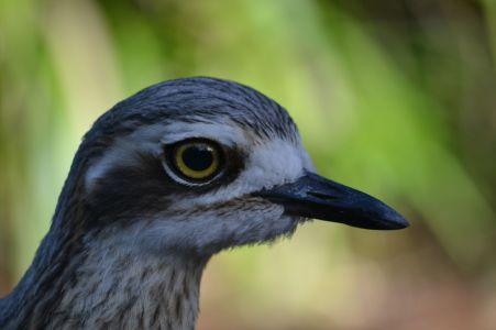 67.bush stone curlew
