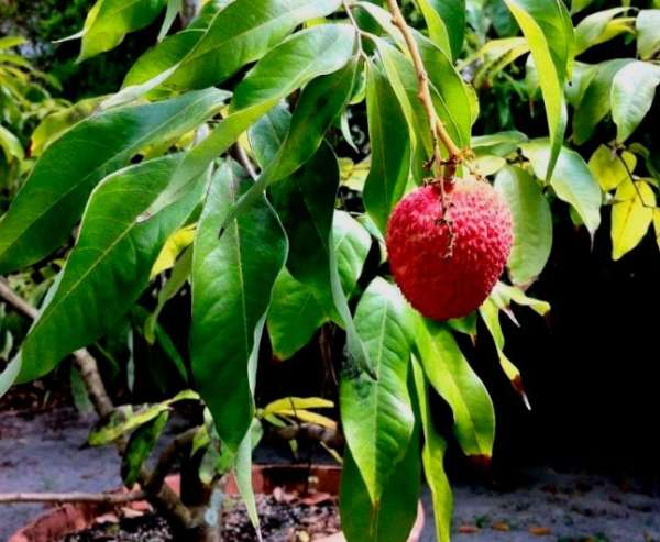 Cultivation of lychee