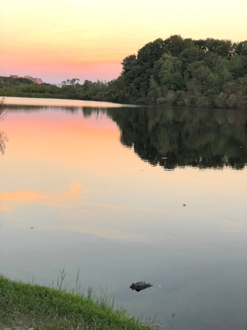 Gator on Lake Alice - 2-day itinerary for families in Gainesville, FL #gainesville #florida #tourofflorida #alachuacounty #gainesvilleFL #universityofflorida #UF #gogators #Gainesvillewithkids #gainesvilleitinerary