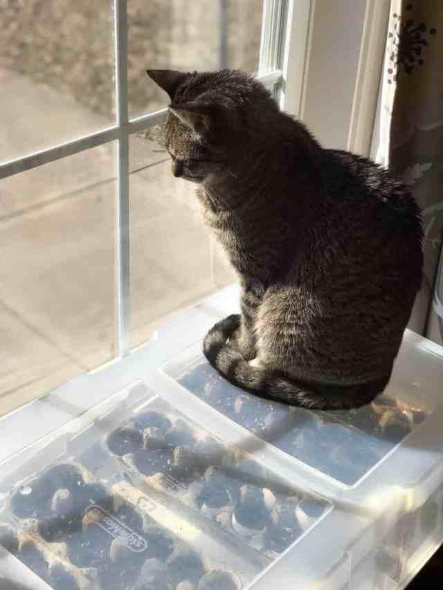 Cat on plastic tub greenhouse