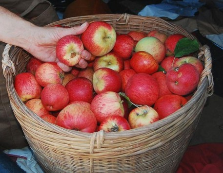 apples-for-cider