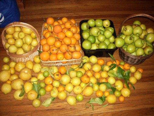 citrus-harvest_1