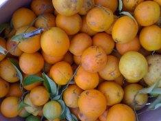 citrus-harvest_5