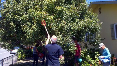 pear-harvest_4