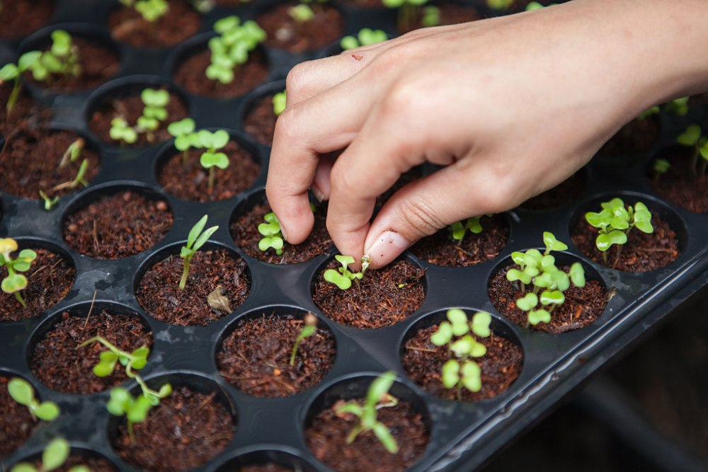 Hand picking sprouts in container