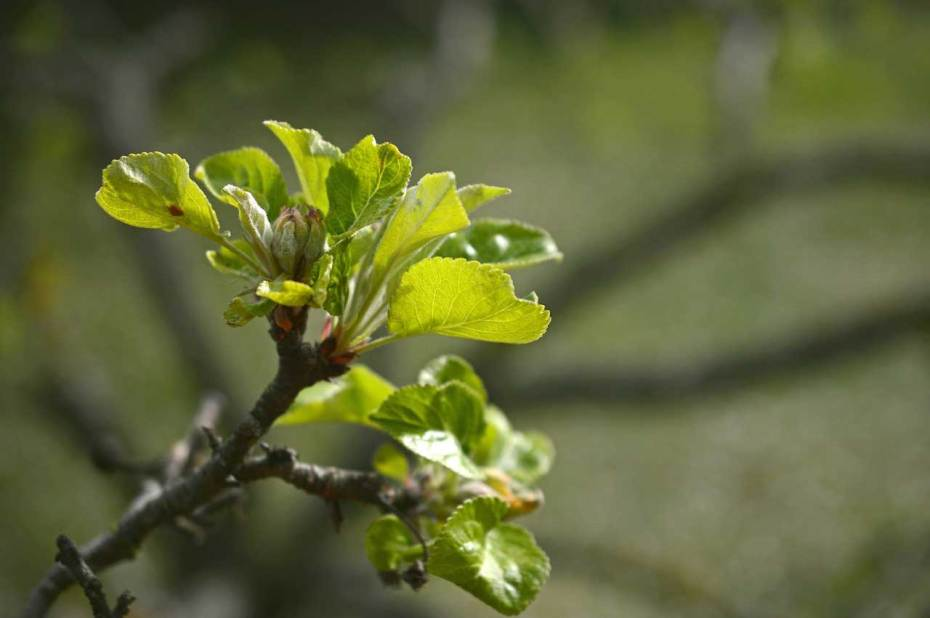 Plant viruses can affect buds and blossoms.