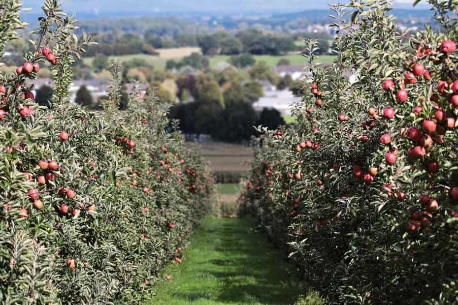 Apple fruit orchard layout.
