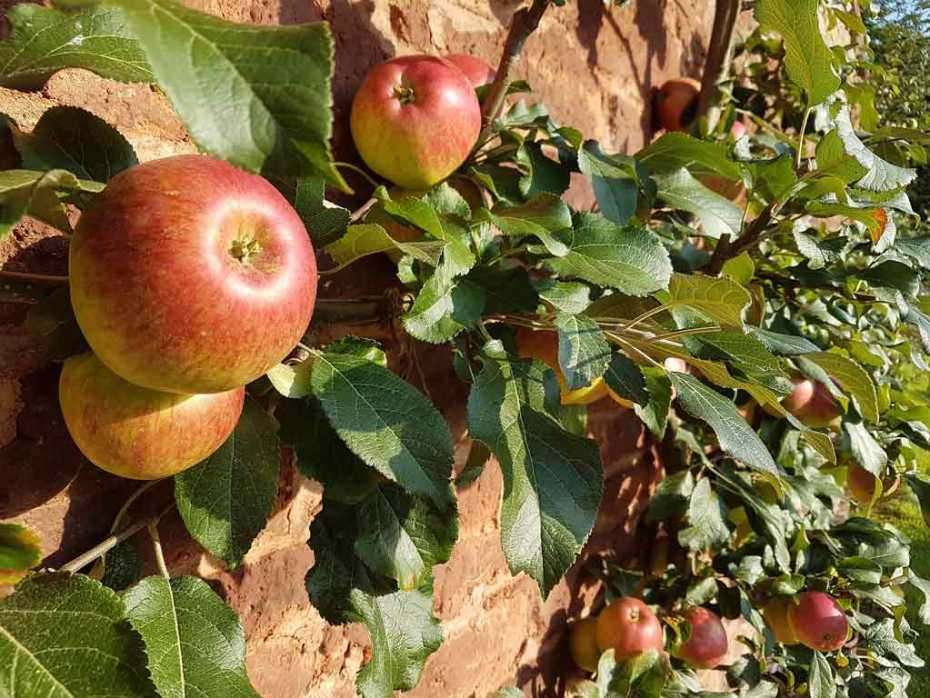Apples growing on a fruit wall