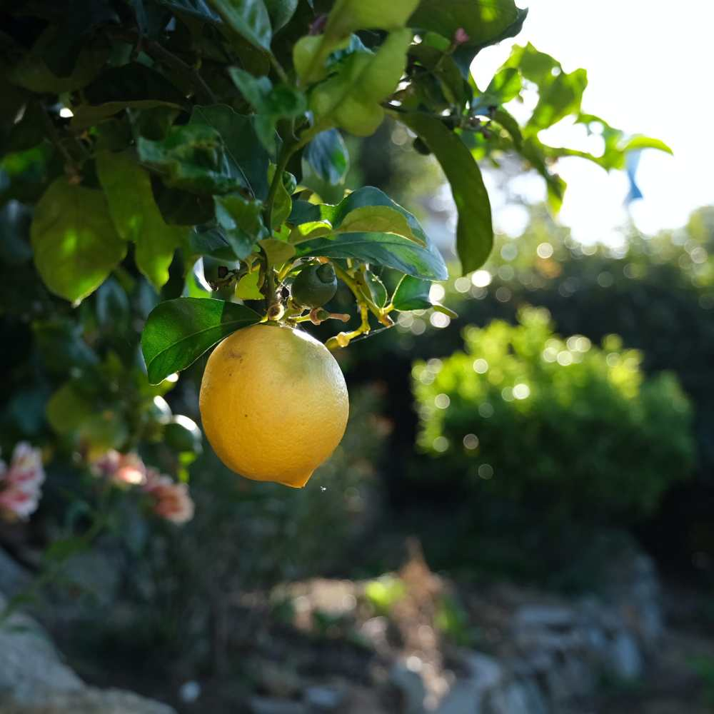 A large yellow lemon on the tree in the daytime.