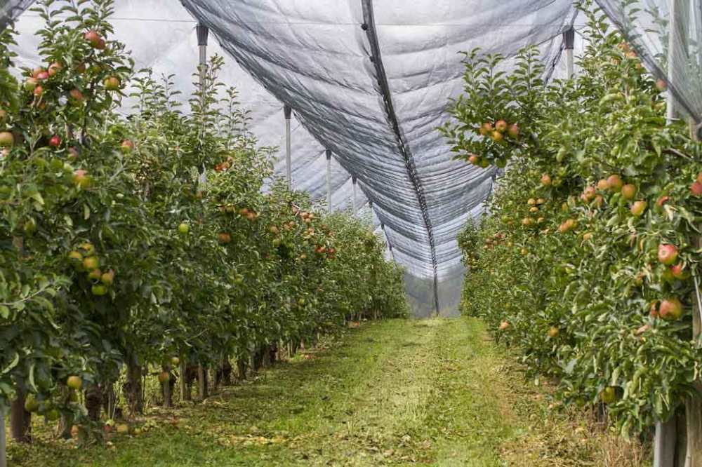 Rows of apple-tree spindles under a hail net in the daytime.