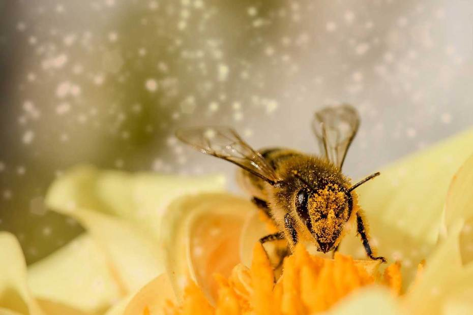 A pollen-covered bee perching in the center of a yellow flower.
