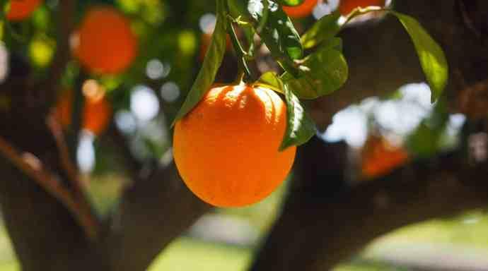 n orange hanging from an orange tree in the daytime