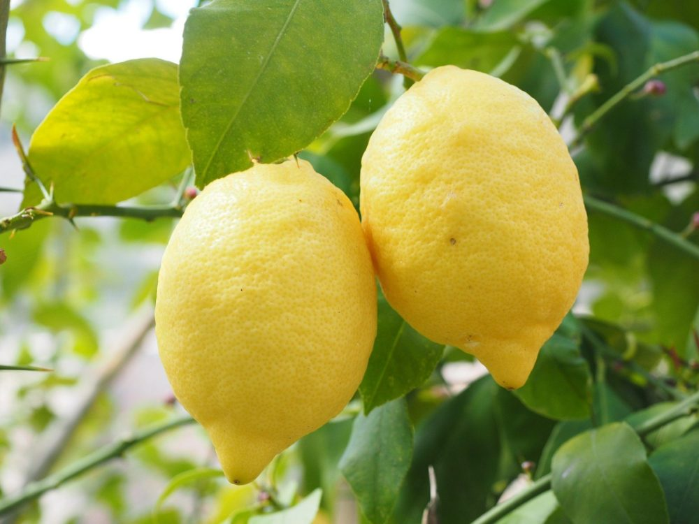 Two large, yellow lemons on a lemon tree in the daytime