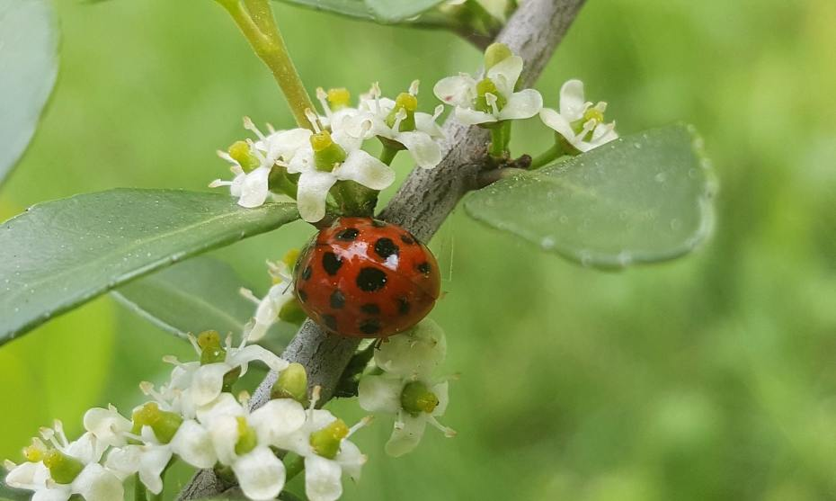 A lady beetle sitting on the branch of a tree, surrounded by small white flowers.