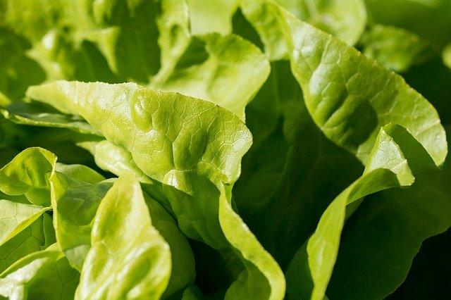 The tips of light-green lettuce leaves.