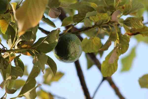 avocado on a tree