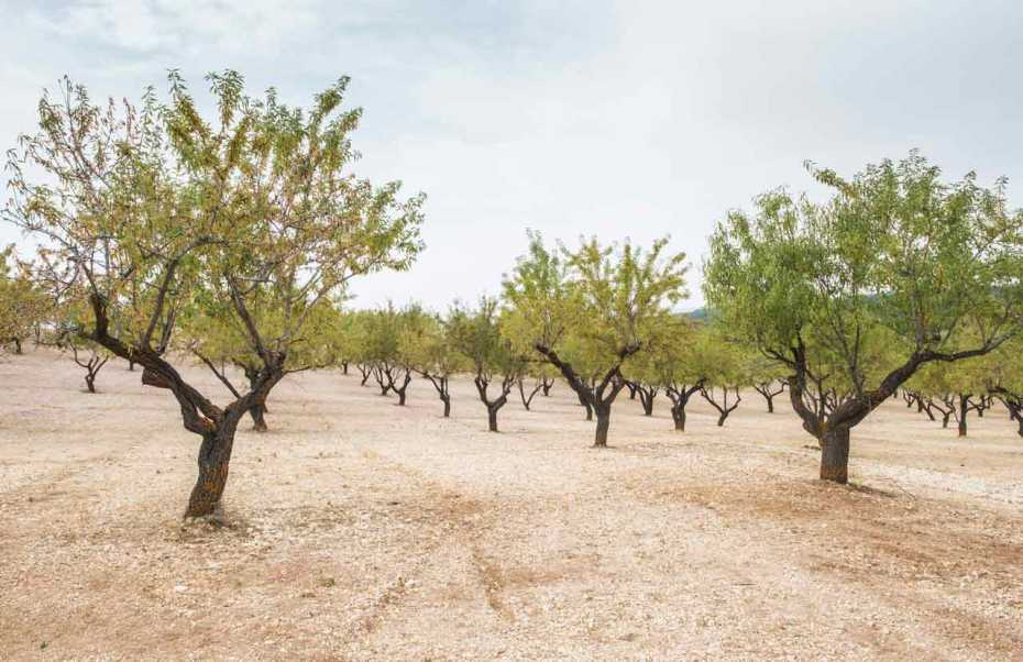 Almond trees on a vegetative land beneath a clear blue sky