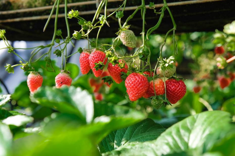 strawberries growing from a vine