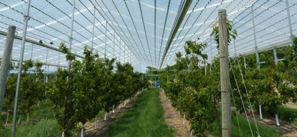 Retractableroof greenhouse protects sweet cherries