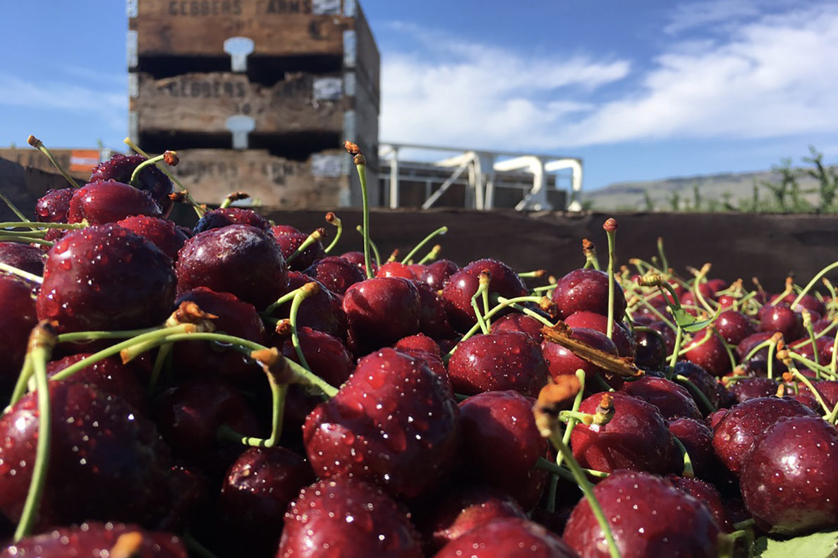 WSU Cherry Fruit School shares better ideas from bud to