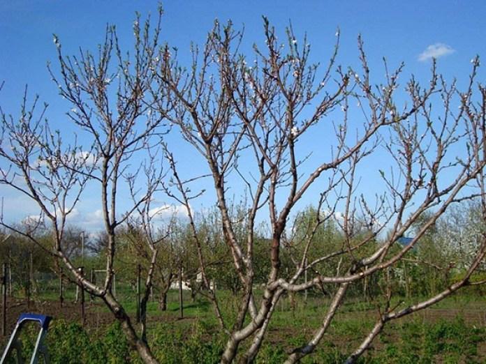 Чашеобразная форма персикового дерева