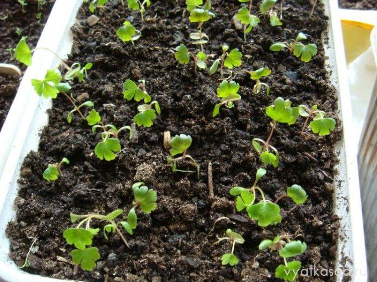 Сельдерей, растущий из семян