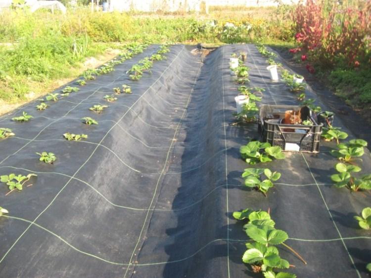Посадка клубники в агроткань