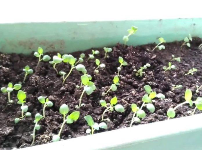 Первые всходы семян картофеля