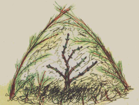 Схема укрытия растения на зиму