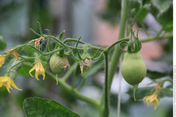 Завязи помидор